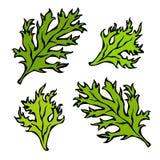 Illustrazione di vettore del prezzemolo Herb Green Leaves, dell'alimento e della spezia Fotografia Stock Libera da Diritti