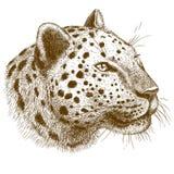 Illustrazione di vettore dell'incisione della testa del leopardo Immagini Stock