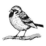 Illustrazione di vettore dell'incisione dell'uccello del passero Immagini Stock