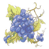 Illustrazione di vettore dell'uva sul campo bianco illustrazione vettoriale