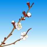 Illustrazione di vettore della ciliegia orientale Fotografia Stock