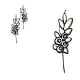 Illustrazione di vettore delle foglie del mirtillo il vettore disegnato a mano, sceglie l'elemento isolato per la decorazione Fotografia Stock