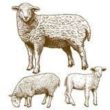 Illustrazione di vettore delle pecore dell'incisione tre Fotografia Stock Libera da Diritti
