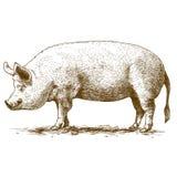 Illustrazione di vettore di incisione del maiale grande Fotografia Stock Libera da Diritti