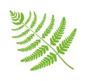 Illustrazione di vettore di Fern Plant Big Green Leaf Immagine Stock