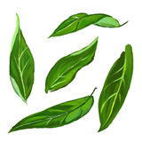 Illustrazione di vettore messa foglie dell'agrume disegnata a mano Fotografia Stock
