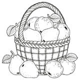 Illustrazione di vettore per colorare Giorno di ringraziamento Raccolto delle mele e delle pere in un canestro illustrazione vettoriale