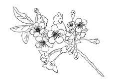 Illustrazione di vettore di stile di schizzo del fiore di ciliegia Cherry Blossom royalty illustrazione gratis