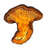 Illustrazione di vettore di vario galletto dei funghi Immagini Stock Libere da Diritti