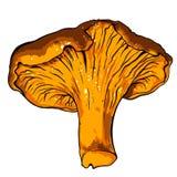 Illustrazione di vettore di vario galletto dei funghi Fotografia Stock
