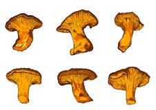 Illustrazione di vettore di vario galletto dei funghi Fotografia Stock Libera da Diritti