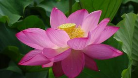 Illustrazione di zen del fiore di loto video d archivio