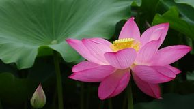Illustrazione di zen del fiore di loto stock footage