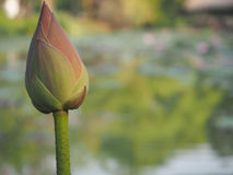 Illustrazione di zen del fiore di loto Fotografie Stock Libere da Diritti