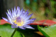 Illustrazione di zen del fiore di loto Fotografia Stock