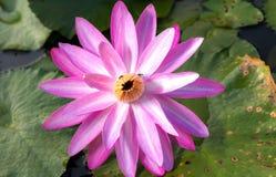 Illustrazione di zen del fiore di loto Il fondo è la foglia del loto Fotografia Stock