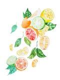 Illustrazione dipinta a mano della miscela dell'agrume con le foglie estratte con acquerello su Libro Bianco illustrazione vettoriale