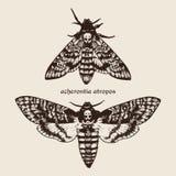 Illustrazione disegnata a mano dei lepidotteri di falco della testa di morti di vettore Fotografia Stock