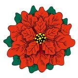Illustrazione disegnata a mano del fiore rosso della stella di Natale Fotografie Stock Libere da Diritti