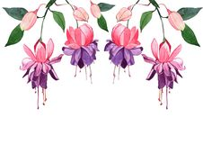 Illustrazione disegnata a mano dell'acquerello fucsia Bei fiori e germogli rosa isolati su un fondo bianco Fotografie Stock Libere da Diritti