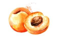 Illustrazione disegnata a mano dell'acquerello maturo dell'albicocca isolata su fondo bianco immagini stock