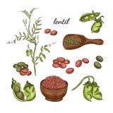 Illustrazione disegnata a mano della pianta di lenticchia Schizzi dei baccelli e dei piselli illustrazione vettoriale