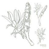 Illustrazione disegnata a mano di vettore di Banksia dei baccelli australiani del seme Fotografia Stock Libera da Diritti