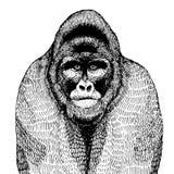Illustrazione disegnata a mano di vettore con una gorilla Fotografia Stock Libera da Diritti