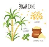 Illustrazione disegnata a mano di vettore della canna da zucchero messa con i gambi dolci della pianta dell'azienda agricola royalty illustrazione gratis