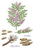 Illustrazione disegnata a mano di vettore della pianta del glycyrrhiza Fotografie Stock Libere da Diritti
