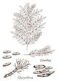 Illustrazione disegnata a mano di vettore della pianta del glycyrrhiza Immagini Stock Libere da Diritti