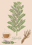 Illustrazione disegnata a mano di vettore della pianta del glycyrrhiza Immagine Stock
