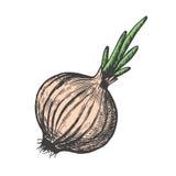 Illustrazione disegnata a mano di vettore di stile di schizzo della cipolla Verdura di scarabocchio illustrazione vettoriale