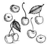 illustrazione disegnata a mano di vettore Raccolta della ciliegia Linea arte Fotografia Stock