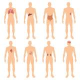 illustrazione educativa realistica di vettore del manifesto di 8 del corpo umano dell'organo dei sistemi di anatomia di fisiologi illustrazione di stock