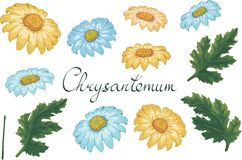 Illustrazione floreale di vettore con il crisantemo Elementi isolati su un fondo bianco Dorato-margherita gialla e blu per il vos royalty illustrazione gratis