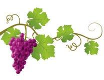 Illustrazione isolata dell'uva Fotografia Stock Libera da Diritti