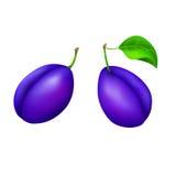 Illustrazione isolata frutta blu delle prugne Fotografie Stock Libere da Diritti