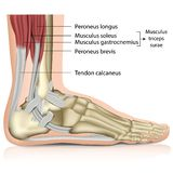 Illustrazione medica dell'articolazione della caviglia 3d di surae del tricipite illustrazione di stock