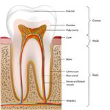 Illustrazione medica di vettore di anatomia del dente su fondo bianco royalty illustrazione gratis