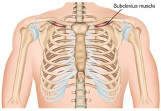 Illustrazione medica di vettore del muscolo della spalla di Subclavius su fondo bianco illustrazione vettoriale