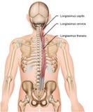 Illustrazione medica longissimus del muscolo 3d su fondo bianco royalty illustrazione gratis