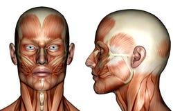Illustrazione - muscoli del fronte Fotografia Stock Libera da Diritti