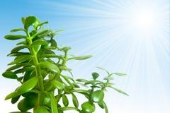 Illustrazione piena di sole della pianta Immagini Stock