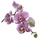 Illustrazione realistica dell'orchidea: un ramo del lila fotografia stock libera da diritti