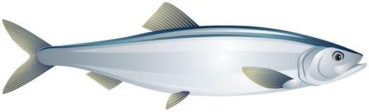 Illustrazione realistica di vettore del pesce dell'aringa Immagini Stock