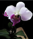 Illustrazione realistica di vettore dell'orchidea Immagine Stock