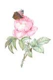 Illustrazione rosa dell'acquerello Immagini Stock Libere da Diritti