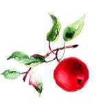 Illustrazione stilizzata della mela dell'acquerello Fotografia Stock