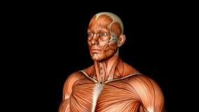 Illustrazione umana di anatomia del corpo maschio di un pareggiatore umano con i muscoli visibili illustrazione vettoriale